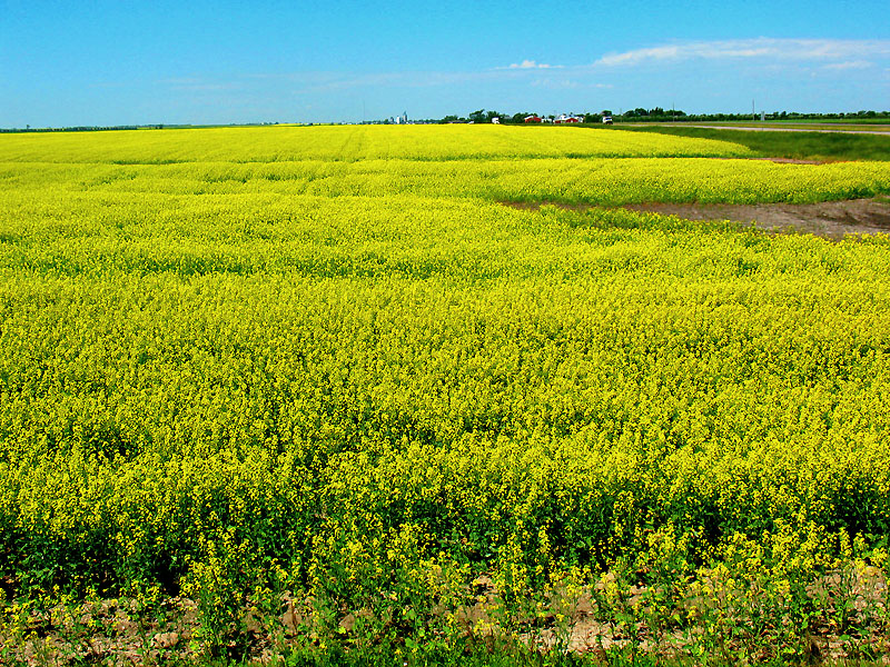 Brilliant canola fields