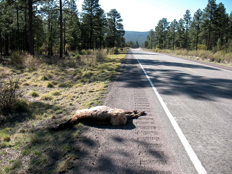 A dead elk - not pretty, but interesting
