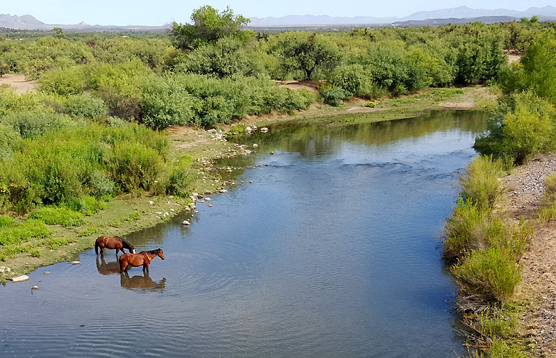 At the Verde River on the Beeline, I watched these free-ranging horses splashing around.