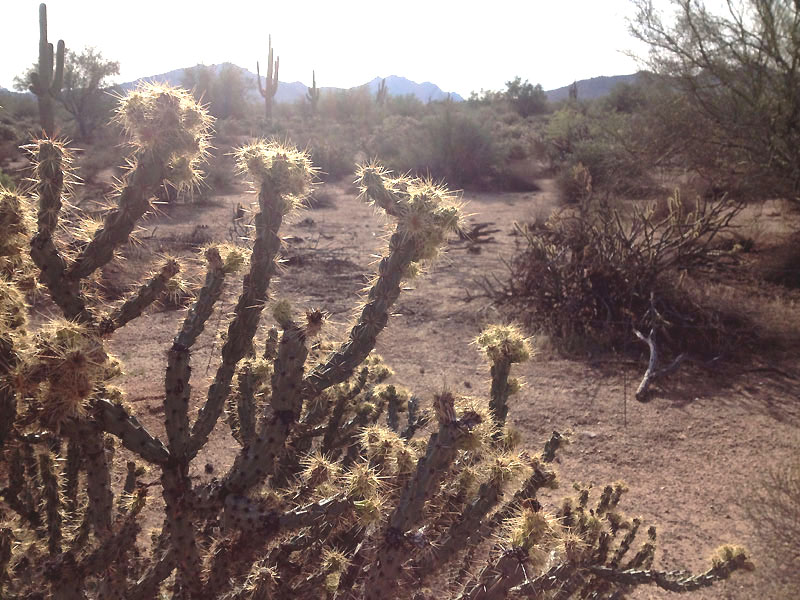 Buckhorn cholla beside Bush Highway