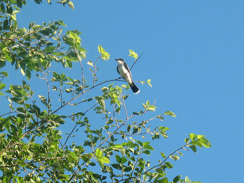 Eastern kingbird at Beaver Creek Rec Area