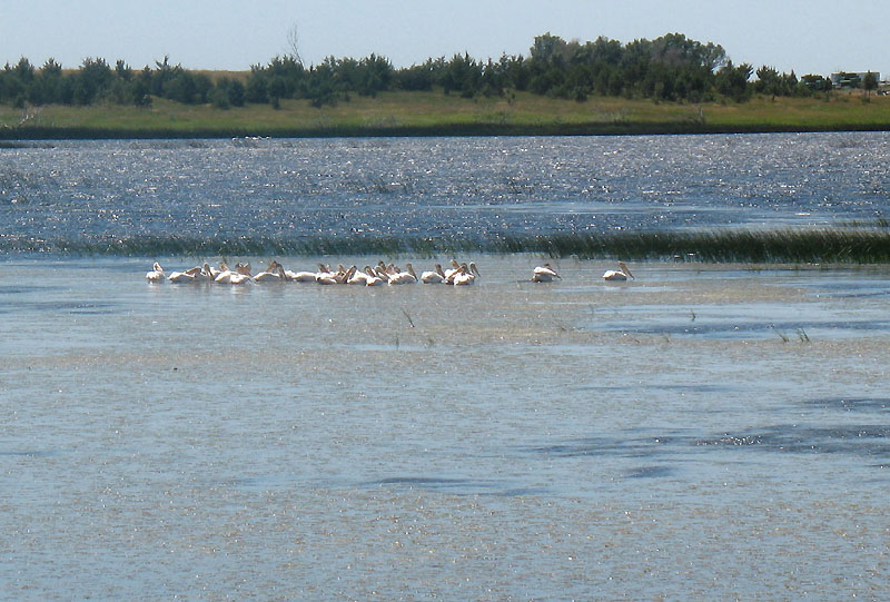 White pelicans - pretty cool
