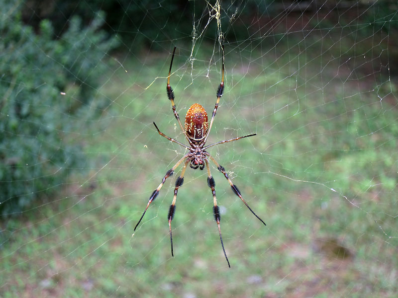 We saw lots of these guys around - they're called banana spiders