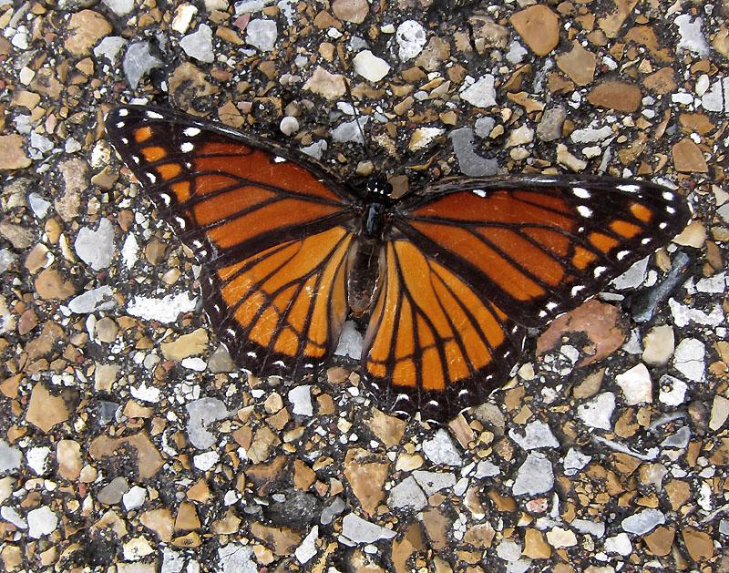 Viceroy butterfly on the road