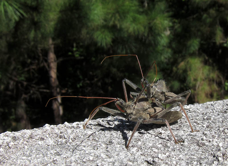 Took this on a bridge on the TRace.  Janel later submitted it to a forum on Reddit called What's This Bug, and they identified them in less than a minute - wheel bugs, making little wheel bugs.