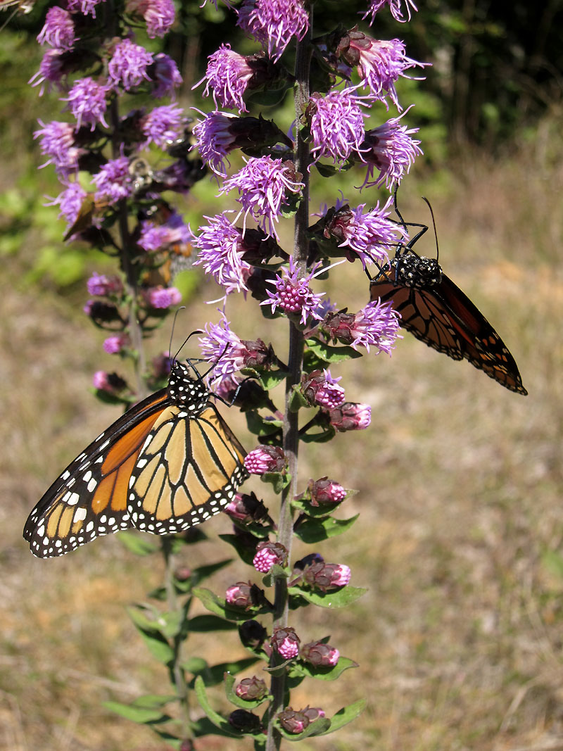 Monarch butterflies by roadside