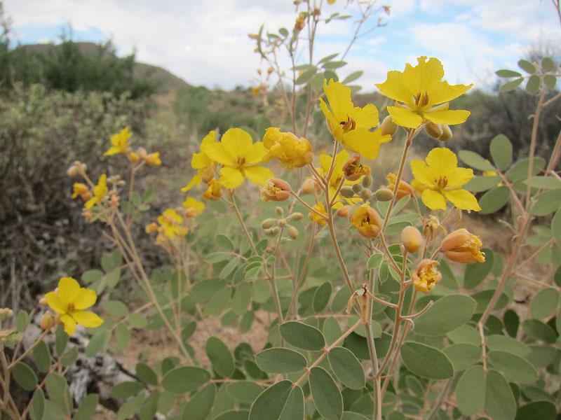 Desert senna (Senna covesii)